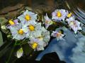 """Цветы на воде"""